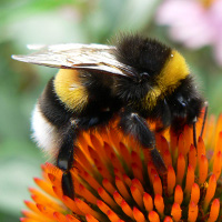 A bumblebee.