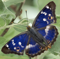 Purple Emperor butterfly (Apatura iris).