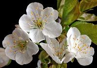 Cherry blossoms (Prunus avium).