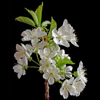 Cherry branch (Prunus avium).