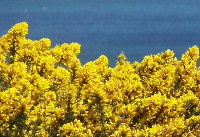 Common gorse field (Ulex europaeus).