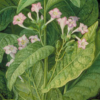 Common tobacco (Nicotiana tabacum)
