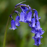 English bluebells (Hyacinthoides non-scripta).