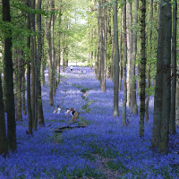 Woods carpeted with English bluebells (Hyacinthoides non-scripta)