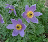 Pasque flower (Anemone pulsatilla).