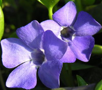 Common Periwinkle (Vinca minor)