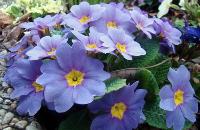 Blue Primrose (Primula vulgaris)