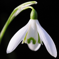 Snowdrop (Galanthus nivalis).