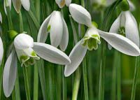 Snowdrops (Galanthus nivalis).