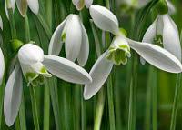 Snowdrops (Galanthus nivalis).