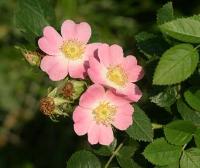 Sweet briar (Rosa eglanteria)